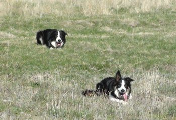 origen del border collie